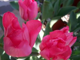 Pink Tulip 3 by theNanna