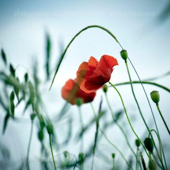 windy poppies by prismes