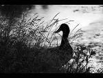 Duck in Grass by Goodbye-kitty975
