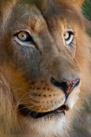 Lion Portrait 1083 by robbobert