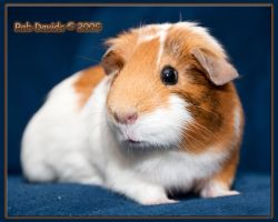 Ginny - our new Guinea Pig by Mellon-001