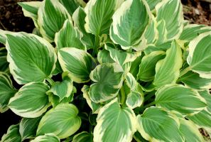 Hosta II by Nitersss