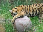 Tiger with a ball again. by pokemontrainerjay
