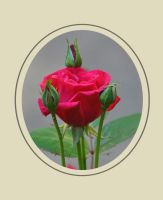 Rose 4-29-10 by Tailgun2009