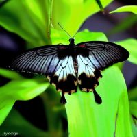 A_Black_and_White_Butterfly by hyneige