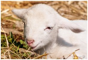 Little lamb by XanaduPhotography