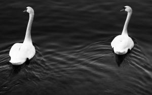 Twin Swans by riviera2008