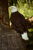 Bald Eagle by toshema