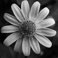 Tiny flower in black and white by AmyKPhotos
