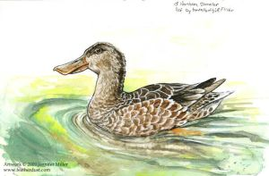 Shoveler - Watercolor Study 3 by Nambroth