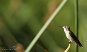 Wetland Hummingbird by Pamela-Ball