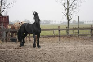 Friesian Stallion 3 by PerfectionStock