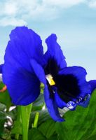 Pansy Flower by George-B-Art