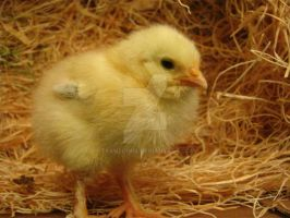 Look at me! -Baby Chick by Tranzopus