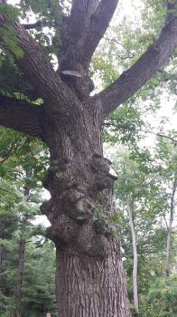 Knotted Old Tree by wildfire4u2
