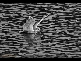 Gull Landing by GMCPhotographics