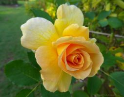 Yellow Rose in Bloom by ShipperTrish