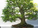 bonsai tree1 by MsWolcottsStock