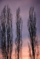 Trees in Dusk by andstock