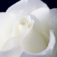 White rose by pretence