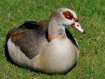 The Egyptian Goose (Alopochen aegyptiacus) by pagan-live-style