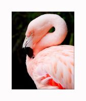 Flamingo Pink by OpticaLLightspeed