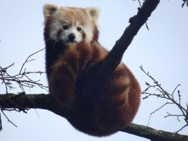 Tilly The Red Panda by HappilyWild