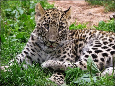 Baby Persian leopard: the face by woxys