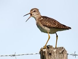 Wood Sandpiper 02 by nordfold