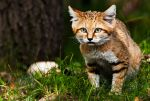 The Sand Cat III by PictureByPali