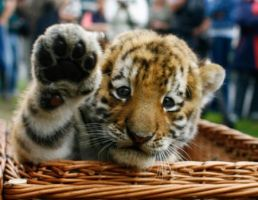 Tiger Cub from Zoo by ilovelost456