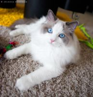 seal bicolor ragdoll 2 by venomxbaby