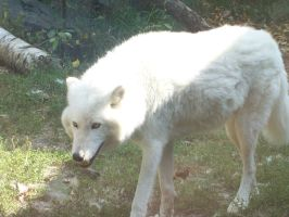 White Wolf by MadForHatters