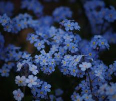 Forget-me-not by CleaLlyfr