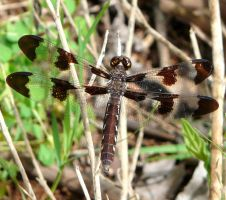 ,Plathemis lydia, female by duggiehoo