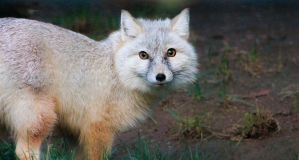 Corsac Fox by DrNoVodka