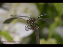Dragonfly by GMCPhotographics