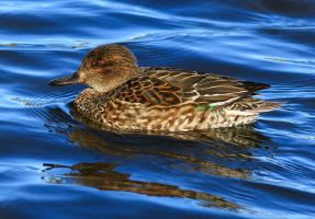 Teal Duck (female) by NurturingNaturesGift