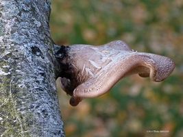 Curled fungi on Birch by Mogrianne