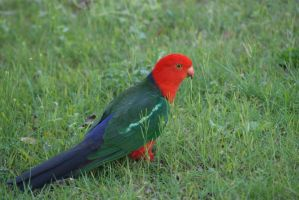 King parrot by sootyalbatross