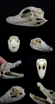 Juvenile Brown Caiman Skull by CabinetCuriosities