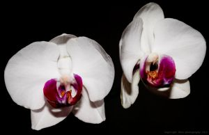 Day 326 Orchids by Sato-photography