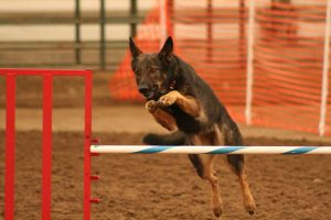 GSD Jump by DancingCavy
