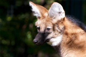 Maned Wolf by lokinst