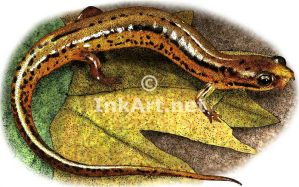 Patch-Nosed Salamander by rogerdhall