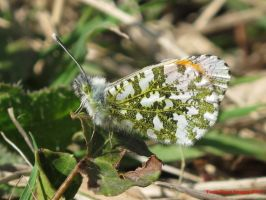 Orange Tip (male) by Terrydunk