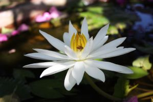 White Water lilly 9581 by fa-stock
