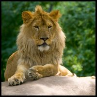 Lion, King of the Hill 05 by StudioFovea
