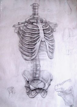 Academic drawing rib cage and pelvis by CleanLotus