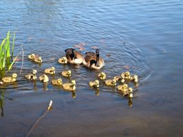 Ducks by xDNarnian